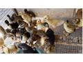 Ducklings - Baby Ducks