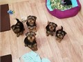 Yorkie puppies available for sale Glorious litter Who will make fantastic family pets and great com