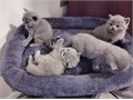 Our kittens leave with- GCCF Registered Certificate- 5 Generation Pedigree Certificate- Fully