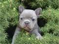 Spigs French Bulldog Pups Contact us only on text message at Call or text today at 7O7 3OO-85O4