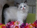 Exemplary Ragdoll kittensAdorable babies typical exceptionally loving laid back temperament str