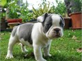 Pure breed French bulldog puppies Available Now for rehoming to pet loving families only all puppie