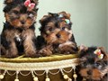Hi We got cute and adorable Yorkie puppies ready to go to new homes 600 eachAge 9 weeksSex