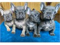Text only  254 218-3855We have genuine French bullies available please don