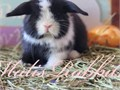 Hey guys I have some beautiful heavy VM holland lop babies available for deposit will be ready to go
