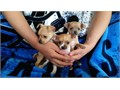 Pure breed Teacup Chihuahua puppies looking for new homes I have puppies that are 8 weeks old both
