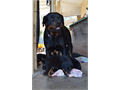 Rottweiler Male Female parents on site champion blood lines ready to go June 1765000 - 12000