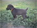 This is a chocolate female Hybrid RetrieverShe was born July 30 2021We do have some other pup