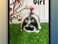 Super cute purebred Holland Lop baby bunnies These cuties are 8 weeks old and ready for their new l