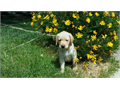 YELLOW LAB PUPS AKC males only shots  dewormed 8 wks please call 951333-3141 or email text unavai