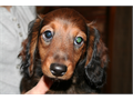 Longhair Dachshund Pups Purebred no papers two males and three females All are happy and play full