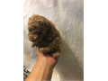 Purebred Teacup Poodles Parents On Site And Registered Puppies Are Fully Vaccinated Dewormed And Fu