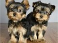 Akc Register Yorkie Puppies for adoption these Yorkie Puppiesare Charming Teacup Yorkie puppies who