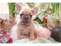 Best French bulldog puppies for re-homing  they are very friendly and goes along with other pets