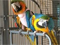 Blue and Gold Macaws tame 18 months old Talk a little and come w a cage 36x48x77 These are our