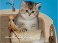 Royal Plush Brits Cattery offers kittens for sale of rare colors and champion lines These two girls