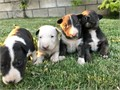 Show quality Miniature English Bull Terrier pups available Father to this litter is a beautiful tri