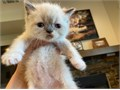 Persian Himalayan Kittens1 males 2 femalesKittens are 750Available October 1st