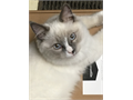 TICA Registered Ragdoll Kitten Male Blue Mitted with a Blaze 5 12 months old Very loving likes