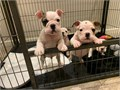 MHGFDWEJK 7542413268 Englishbulldogspups available for more information check the website httpsh