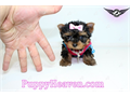 Yorkies Visit our website now to see pictures and info for all available puppiesAll of our puppi