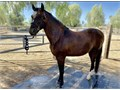 Registered Paso Fino Gelding Blood bay color 16 years old 142 h Grandsons of the first paso fino