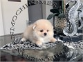 AKC Cream Male Pomeranian Gorgeous Teddy Bear face Huge thick coat nice tail and ears standing g