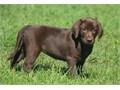 Labrador retriever puppies up for adoption for more info and pics send text to 2132755429