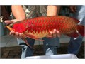 We have varieties of arowana fishes like Red Red Asian Arowana jardiniere Arowana Chili Red Gold
