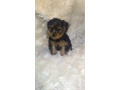 Purebred pedigree yorkie and aMicrochip for lifetime membership akc Puppy also comes with