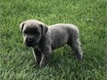 able Cane Corso Italiano puppies availableThese puppies akc registered  vet checked and will come