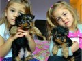 Pure breed Yorkie pups Yorkie looking for new and lovely homeWe have two yorkie pups male and fe