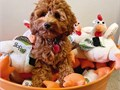 Hello we have a three months old female Goldendoodle for adoptionI have all the accessories to go