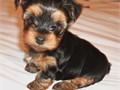 T Cups Yorkies For Sale They Are Tiny And Cute They Are Very Tiny Shots And Dewormed SeriouS BUYER