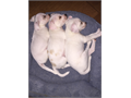 I have 3 chihuahua puppies that need to be re-homed the fee is 100 each Theyre 2 months old and