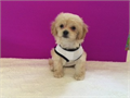 Gorgeous Cockapoo Golden shades DOB 522 short nose adorable floppy ears up to date on shots and