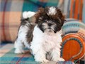 Shih tzu puppies for saleAll puppies are AKC registered Puppies are raised in