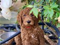 Red goldendoodle puppies 8 weeks dewormed first shot loving companion pets hypoallergenic will