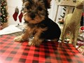Amazing cute Teacup yorkies available Male and female all 11weeks old up to date on shots and comes
