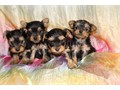 SUPER TINY YORKIE PUPPY WIEGHS ONE LBS AT 10 WEEKS MOM AND DAD BOTH 3LBSBABYDOLL FACE PERFECT
