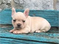 French bulldogs pups available for only serious inquiries willing  Calltext me  404-941-0743