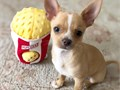 CHIHUAHUA very playful outgoing and extremely cute They are registered and up to date on all