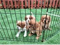 We have such beautiful cavalier king Charles brown and tan KC registered puppies from a wonderful an