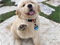 Goldens are outgoing trustworthy and eager-to-please family dogs and relatively easy to train Th