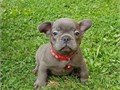 French Bulldog PuppiesThey are very sweet loving small pups that are quite r