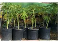 many 15 gallon 5 feet tall strawberry Carica Papaya trees most popular variety in America the juicy