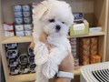 Teacup Maltese Puppy female and male 4 months old will be around 4-5 lbs when fully grown up Ted
