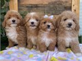 We have four adorable little maltipoo puppies they have been home raised and with small children Mo