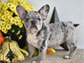 Say hello to these sweet and very adorable little French Bulldog puppies Each one of these puppies