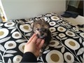 Yorkshire Terrier Mix Female  140000 805-328-4248